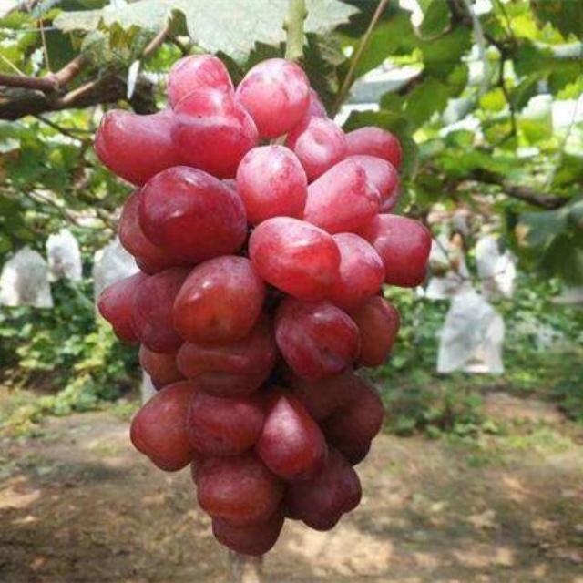 浪漫红颜葡萄苗