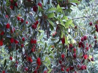 早荠杨梅苗 早荠蜜杨梅苗种植时间
