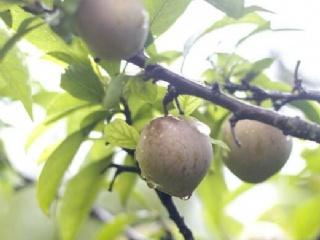 种植桃形李树苗需要注意的几个关键点