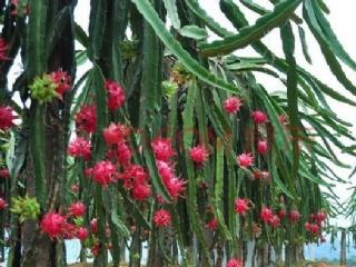 怎样确定火龙果搭架与种植密度