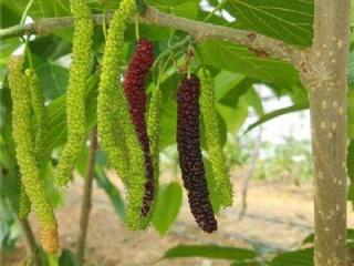 无籽大十、四季长果粒果桑苗