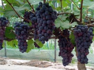 葡萄萌芽前后的管理要点
