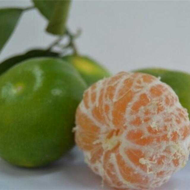 大分早生柑橘苗