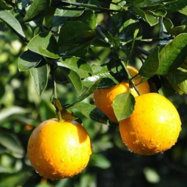 冰糖橙柑橘苗