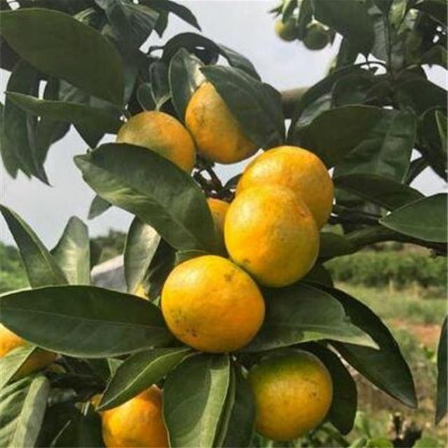 由良柑橘苗