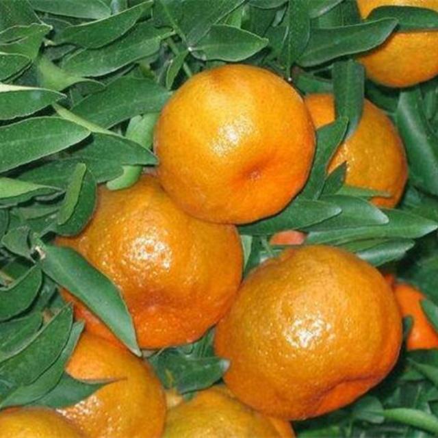 兴津柑橘苗