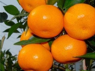 有关于阿斯蜜柑橘苗小常识介绍