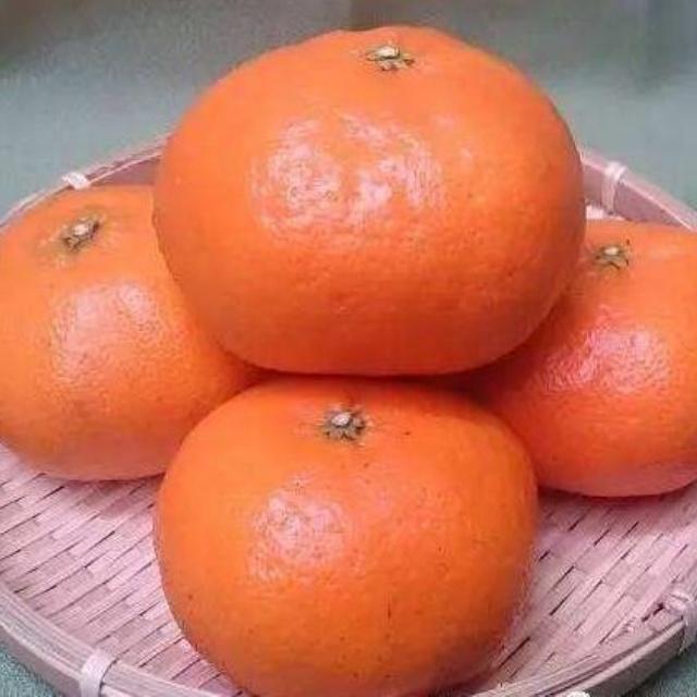 甘平柑橘苗