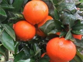 柑橘苗繁育场