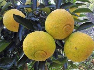 春香柚柑橘苗品种特性及种植