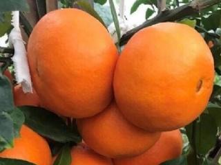浙江柑橘产业何去何从