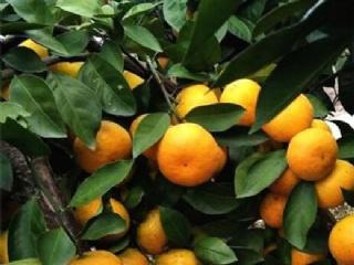 明日见柑橘苗多少一棵一亩能挣多少钱