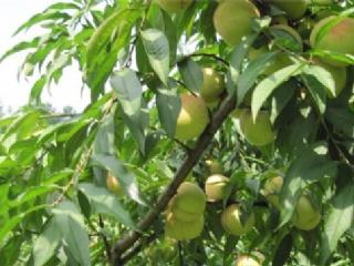 桃树各个时期病虫害防治措施