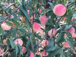 晚熟桃苗品种:森泰五号桃苗特性