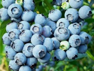 买蓝莓苗的一些常见问题