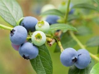 蓝莓当年种植当年挂果次年回本技术