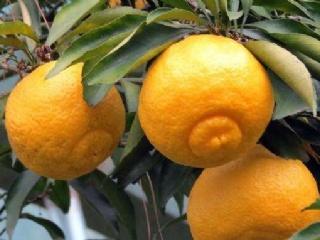 2019柑橘新品种:春香柚柑橘苗特性及种植