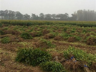 教你几招如何正确的选择突尼斯软籽石榴树苗