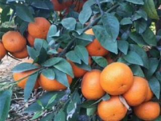 2019柑橘新品种:091无核沃柑苗栽植时间和栽植技术