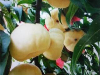 中蟠桃树苗品种选择要点