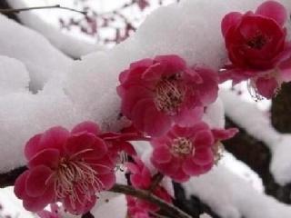4-10cm红梅树苗