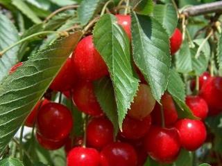 诸暨短柄樱桃被认定国家地理标志农产品