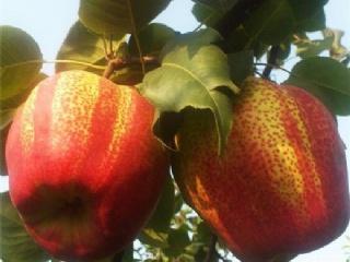 早熟梨苗新品种:早酥红梨苗