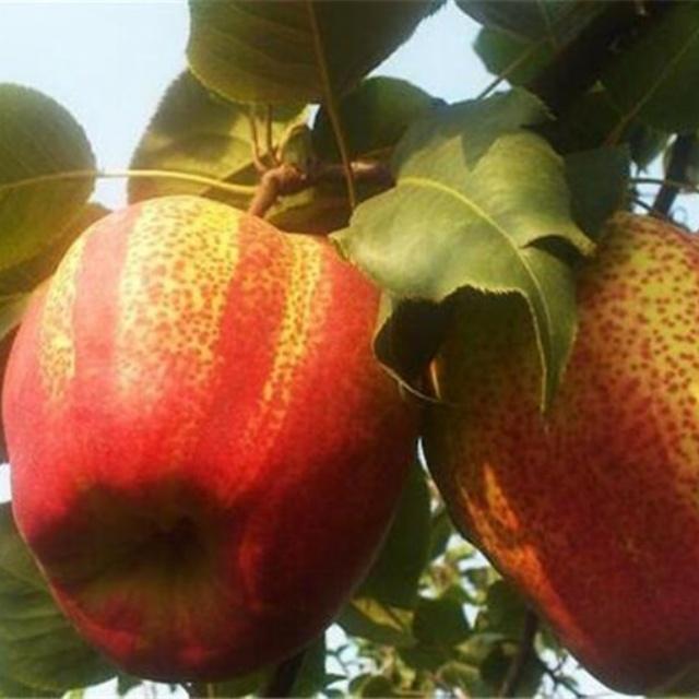 早酥红梨苗