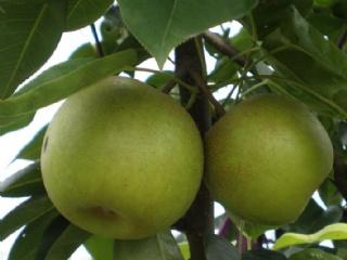 梨树圆柱形密植整形修剪技术