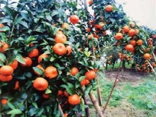 怎样提高树果树苗移栽成活率