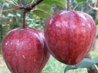 早酥红梨苗 早酥红梨高产栽培技术