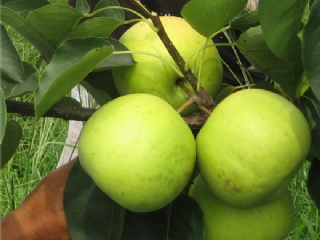 翠冠梨苗价格翠冠梨的早期栽培管理