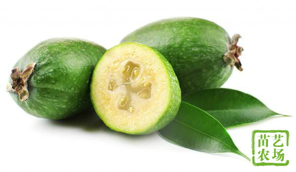 斐济果怎么吃?斐济果有什么营养价值和功效?[多图]图片1