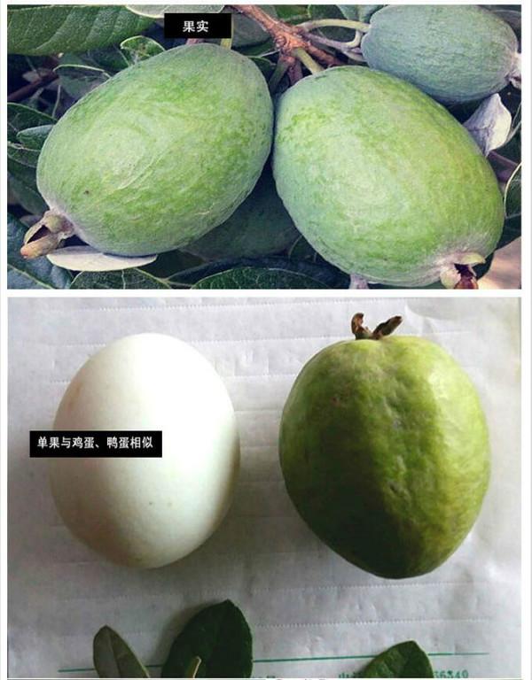 斐济果怎么吃?斐济果有什么营养价值和功效?[多图]图片2