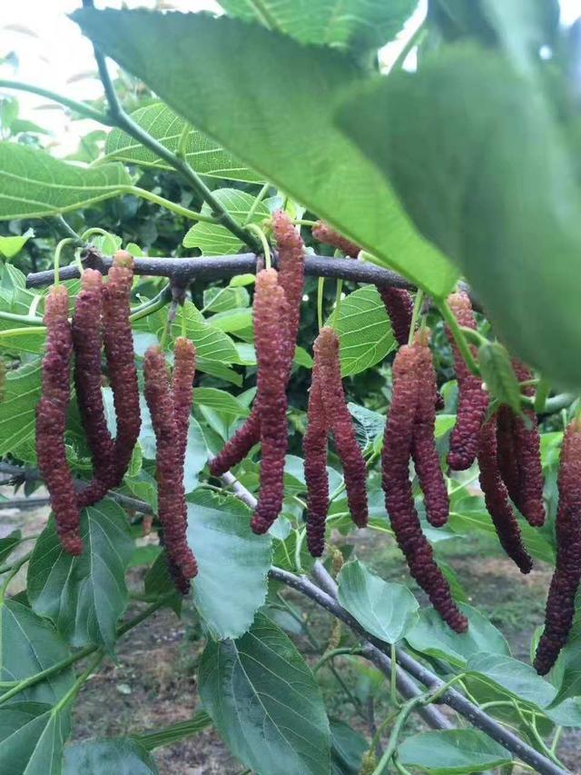 台湾长果桑种植技术,台湾桑椹果种植成功关键技术