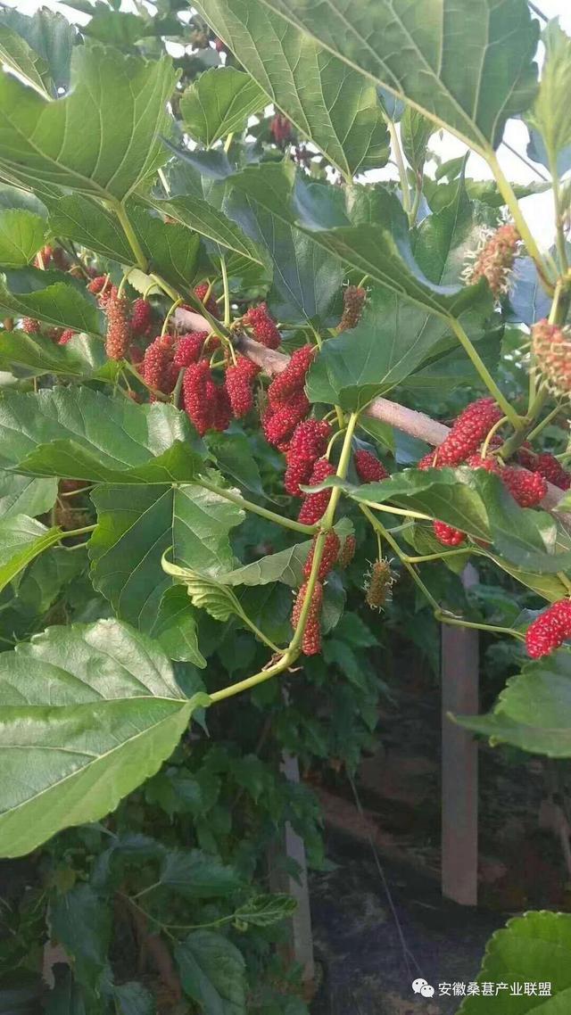 立秋-吐血整理果桑种植事项,你所想知道的都在这了