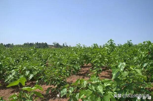 桑葚树一般亩栽多少棵?桑果种植每亩多少颗?