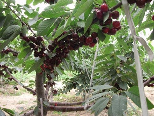 南方种植樱桃的问题与品种和砧木的选择