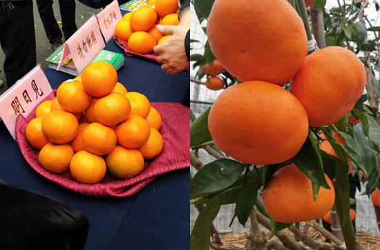 明日见柑橘介绍