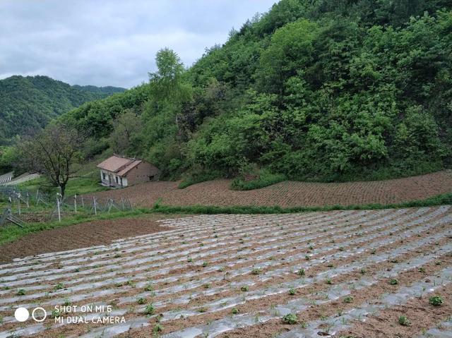软枣猕猴桃育苗基地
