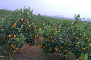 「柑橘趋势」一文看懂四川柑橘未来发展优劣势