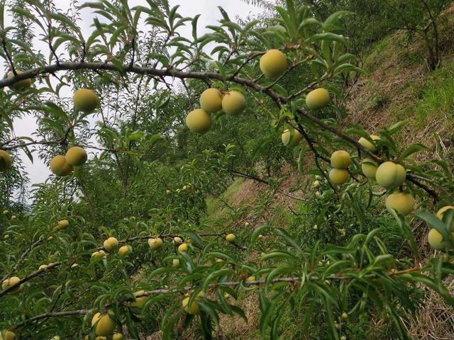 蜂糖李树挂果大树