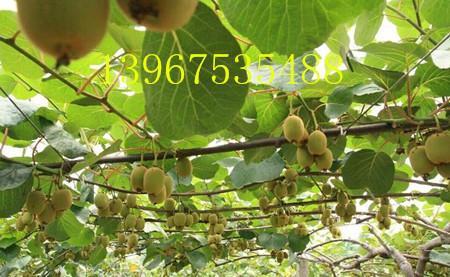 黄金果 猕猴桃果树 小.jpg