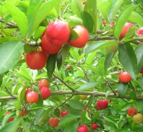 西印度樱桃.png