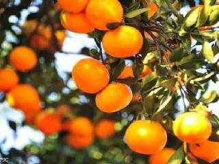 柑橘黄龙病四年就能毁一个果园,三招轻松辨别,帮你降低损失!