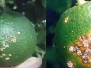 数千亩柑橘果园感染溃疡病,他用这招起死回生!