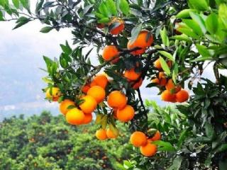 膨果期到了,该施肥了!让柑橘饿了、渴了的话,果子就长不大了!