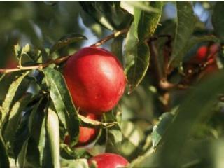 油桃树苗价格多少钱一棵?种植几年挂果?油桃的栽培技术