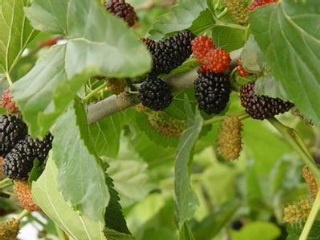 果桑种植过程中关键技术研究