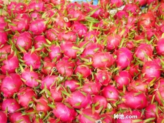 火龙果种植技术视频图片